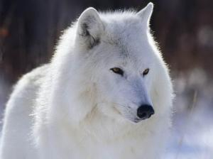 Meet Yikiya, Reluctant Medium's White Spirit Wolf Photo Public Domain