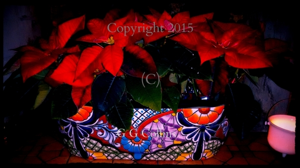 Santa Fe Poinsettias Copyright G G Collins